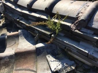 赤穂郡上郡町 淡路瓦の粘土瓦の隅棟から草が生えています。