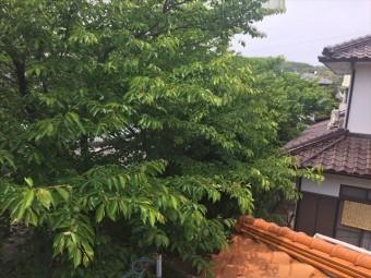 岡山市中区で桜の木が屋根に